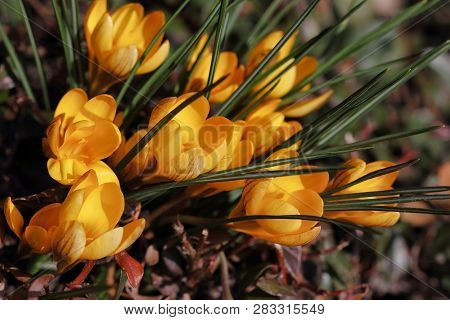 Close-up Of Yellow Crocus Flowers On The Spring Meadow. Macro Photography Of Nature.
