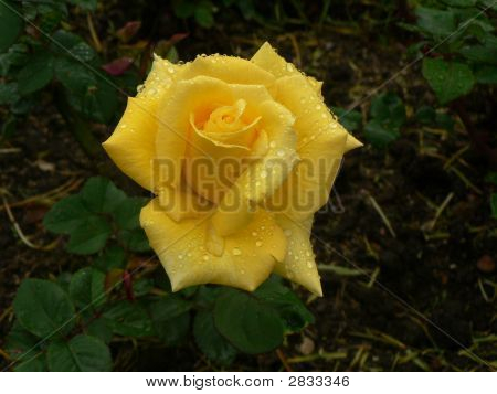 A Lovely Rose Flower