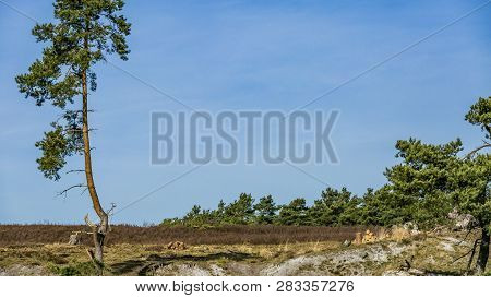 pine isolated on an arid terrain and with pine trees in the background in Brunssummerheide in South Limburg in the Netherlands with lots of copy space on the right and top side poster