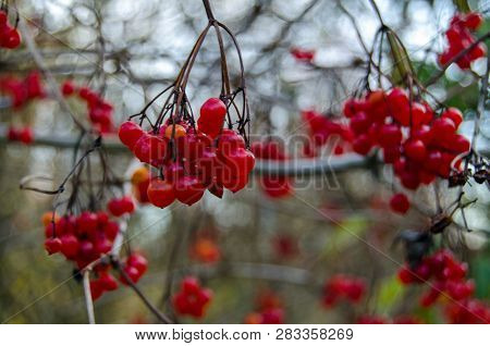 The Bright Red Berries Of Woody Nightshade, Also Known As Bittersweet And Solanum Dulcamara.  This W