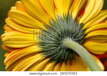 Close-up Of Yellow Gerbera Flower In The Summer Garden. Macro Photography Of Nature.