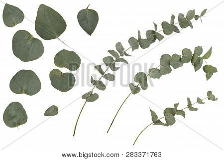 Eucalyptus Cinerea, Silver Dollar; Argyle Apple, Rustic Green Branches, Twigs And Leaves, Isolated O