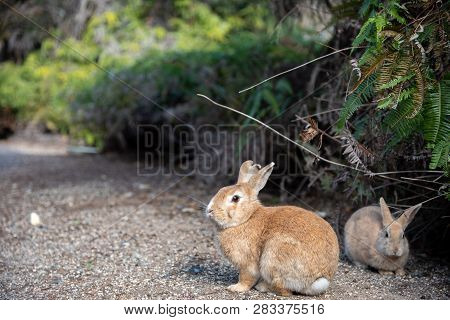 Cute Wild Rabbits On Okunoshima Island In Sunny Weaher, As Known As The