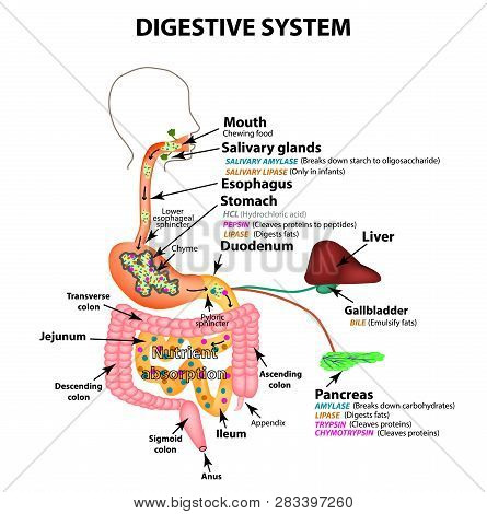 The Human Digestive System. Anatomical Structure. Digestion Of Carbohydrates, Fats And Proteins. Enz