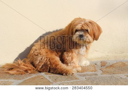 Lhasa Apso Dog Sitting On Pavement Stones In A Garden
