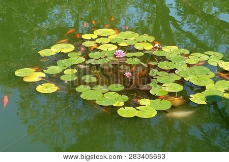 Lotus Flowers And Red Fish In A Green Pond In The Municipal Park Of The City Of Bistrita, Romania.