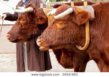 Two Oxen In Yoke Pulling A Cart