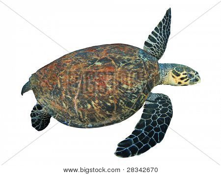 Hawksbill Turtle isolated on white background