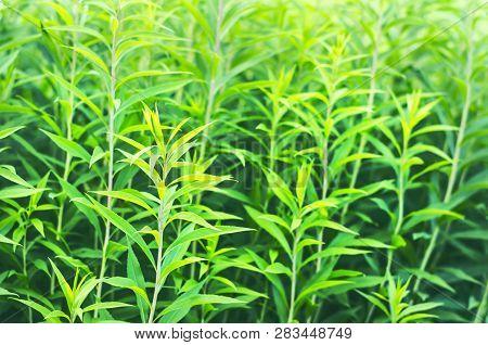 Green Stems Of European Goldenrod, Solidago Virgaurea, Or Woundwort In Midsummer. A Garden Flower Wi