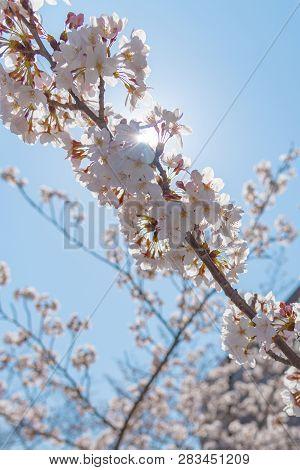 Meguro Sakura (cherry Blossom) Festival. Cherry Blossom Full Bloom In Spring Season At Meguro River,