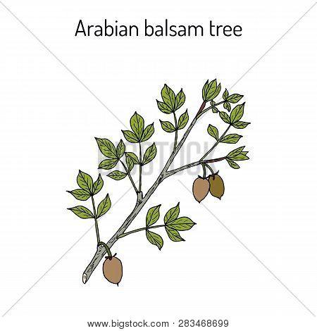 Arabian Balsam Tree Commiphora Gileadensis , Or Balm Of Gilead, Mecca Myrrh, Medicinal Plant. Hand D