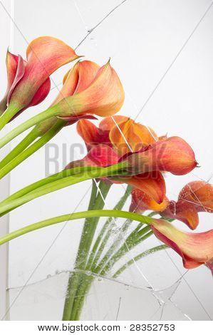 Orange Calla lilies(Zantedeschia) seen in broken mirror