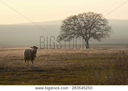 One Sheep On Field In The Sunset