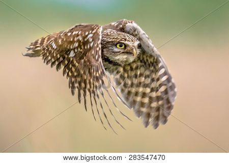 Little Owl (Athene noctua) nocturnal bird flying at dawn hunting for prey on Belgian countryside in Flanders poster