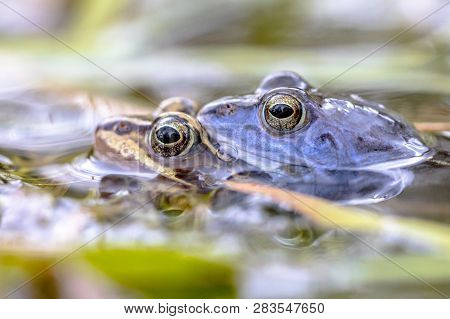 Moor Frog (rana Arvalis) Couple In Amplexus Mating Position In The Reproduction Season Submersed In
