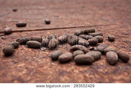 Organic Cocoa Beans In Little Cocoa Farm In Costarica Jungle