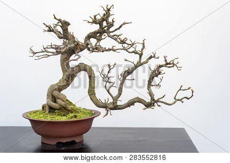 Chaenomeles Bonsai Tree On A Wooden Table Againt White Wall In Baihuatan Public Park, Chengdu, Sichu