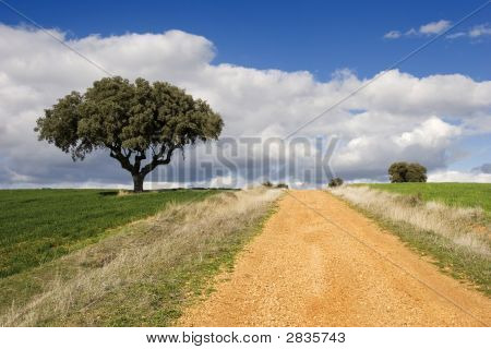 Track And Oak Tree