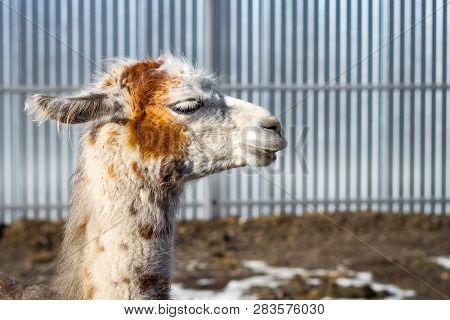Beautiful White-red Lama. Close-up. Wild Nature. Wild Animals