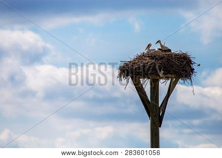White Storks Baby In The Nest On Blue Sky Background. Stork Nest With Young Storks In Latvia.