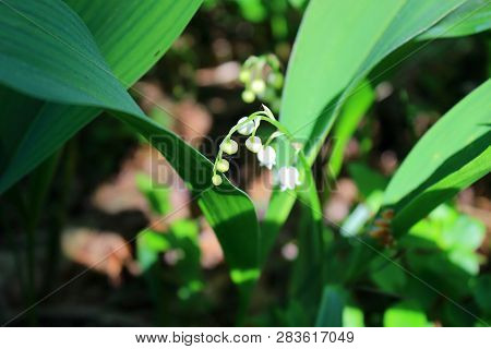 First flowers blossom in the forest. White spring flowers in the grass. Lilies of the valley bloom in the forest in spring. Forest glade. Walk in the green forest