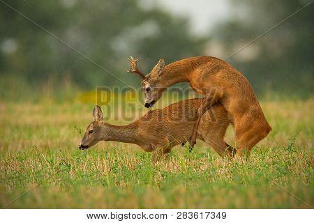 Roe Deer Couple Copulating In Matting Season In Summer.