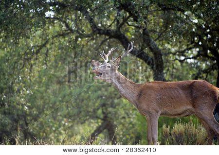 Young wild deer roaring in spanish dehesa