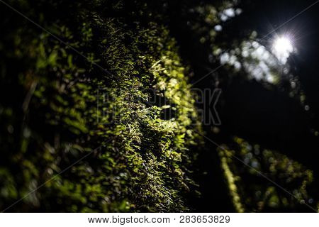 Moss On A Tree With The Sun Shining On It, Trees Covered In Moss, Moss On A Tree In New Zealand, Ama
