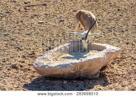 Young antelope in a safari park on the island of Sir Bani Yas, United Arab Emirates poster