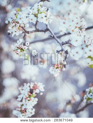 Spring Flowers Of Blooming Spring  Tree - Natural Spring Flower Background In Vintage Pastel Tones.