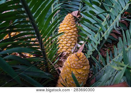 Palm Fern Cycad Encephalartos With The Cone Fruits