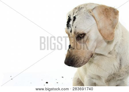 Dirty Mischief Dog. Labrador After Play In A Mud Puddle With Guilty Expression. Isolated Against Whi