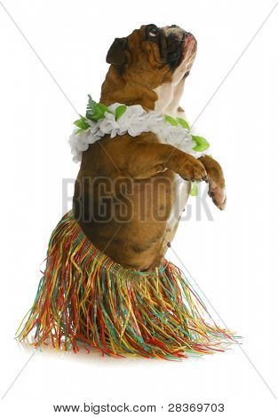 dog dancer - english bulldog wearing hula on white background