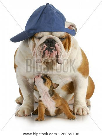 father and son - english bulldog father and four week old son sitting on white background