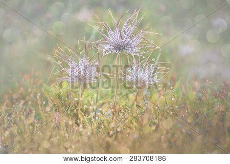 Dandelion Seeds In The Drops Of Dew On A Beautiful Blurred Background. Dandelions On A Beautiful Blu