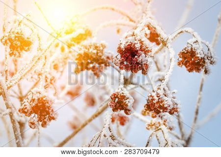Red Berries Under Snow, Snow, Background, Mountain Ash, Hawthorn At Sunny Day