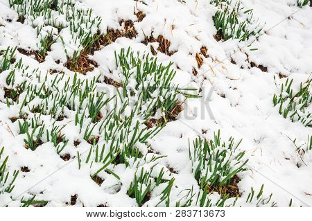 Green Grass Growing On Ground Covered With Snow. Green Grass Blades Sprouting Out From Snow Cover