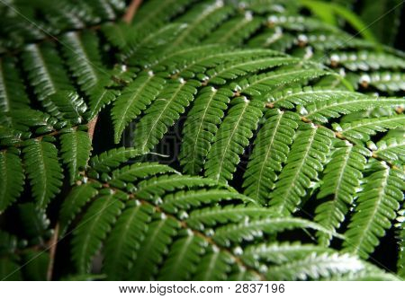Australian Tree Ferns