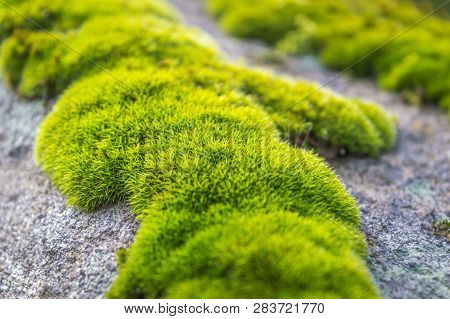 Patches Of Moss On A Rock. Green Moss Backlit By Sun In The Morning. Close Up Macro Photo Of Moss