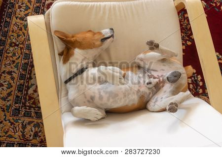 Sleepy Basenji Dog Being In Funny Sleeping Pose In The Chair - Top View