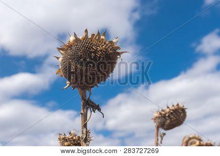 Beautiful Ripe Sunflower Against Blue Cloudy Sky At Fall Season