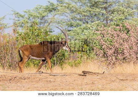 One Natural Sable Antelope (hippotragus Niger) In Savanna, Bushes, Blue Sky
