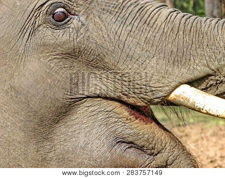 Elephant closeup. Tusk. Fragment. African bush elephant (Loxodonta africana), also known as the African savanna elephant and the largest living terrestrial animal. poster