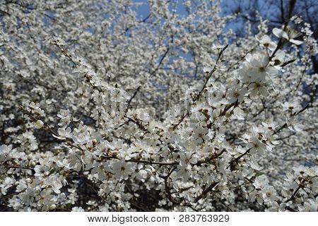 Florescence Of Prunus Cerasifera Tree In Spring
