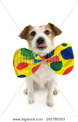 Funny Dog Dressed As A Clown. Jack Russell Wearing A Colorful Bowtie. Isolated Against White Backgro