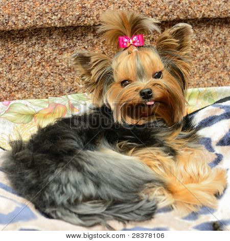 cute yorkshire terrier on the sofa poster