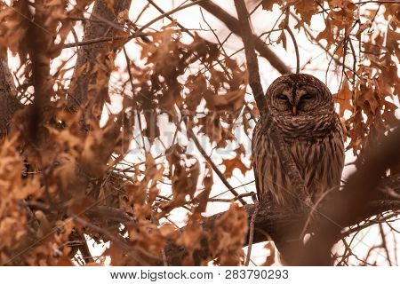 A Barred Owl Sits All Puffed Up In A Tree On A Cold Day In Febuary Near Pensacola Dam Located In  La