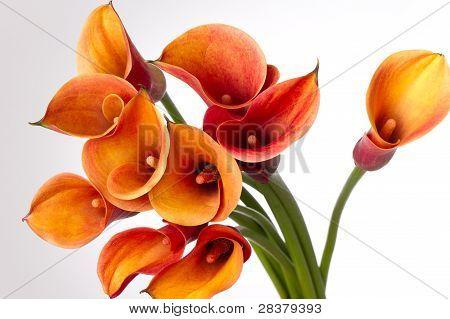 Orange Calla Lilies(zantedeschia) Over White