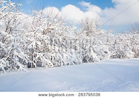 Shrubs Under Snow In A Park On A Winter Day