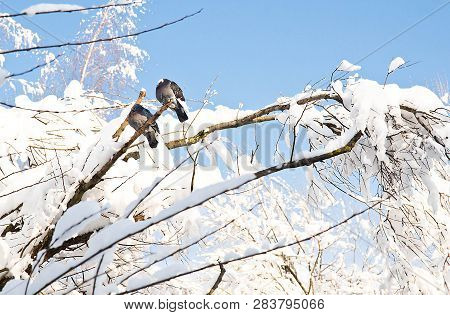 Doves On Snowy Branches In A Winter Day